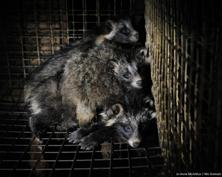 Raccoon Dogs Fur Farm