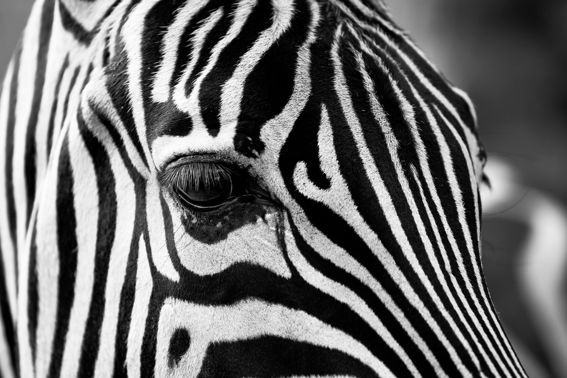 Zebra face CC0