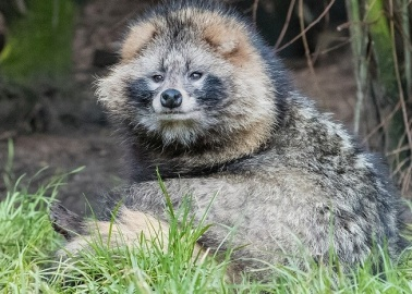 13 Astounding Facts You Didn't Know About Raccoon Dogs