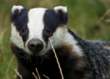 PETITION: End the Badger Cull Instead of Expanding It to New Areas
