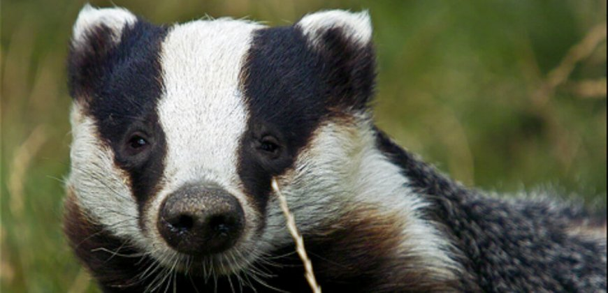 Badger Public Domain
