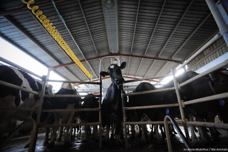 Cows Darm