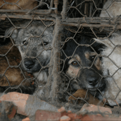 Help Dogs and Cats Like Those in the Yulin Festival