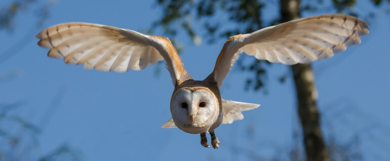 Flying barn owl CC0
