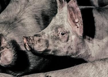 Will Mandatory CCTV in All English Abattoirs Help Animals?