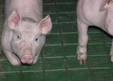 Creating Human-Animal Hybrids Is Bad for People – and Worse for Animals