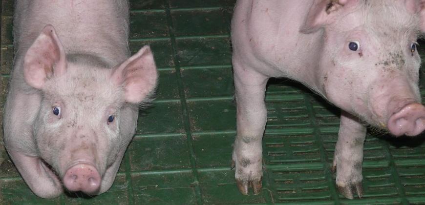Piglets CC0