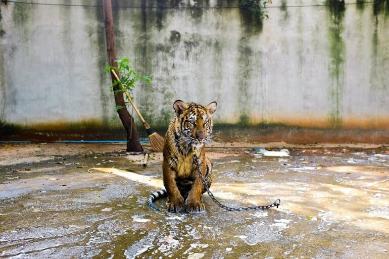 After Years of Abuse, 137 Tigers Have Been Seized at Thailand's