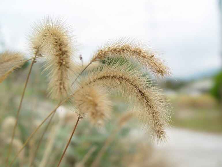 foxtail weed