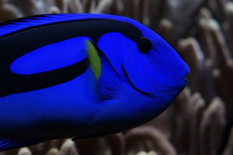 Palette Surgeonfish Dory