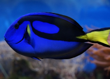 We're Celebrating 'Finding Dory' With 11 Astonishing Facts About Surgeonfish