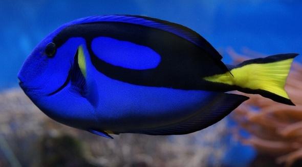Palette Surgeonfish Blue Tang Dory Fish