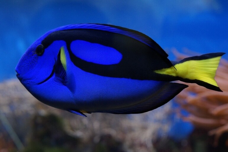 Palette Surgeonfish Blue Tang Dory Fish