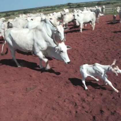 A calf is lassoed and pulled away from her mother, who chases after her.
