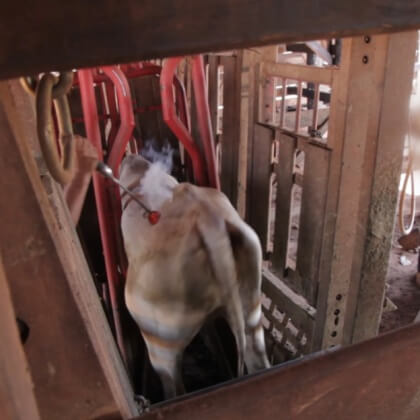 Workers trap this cow in a chute and brand her on the back with a hot iron and no pain relief.