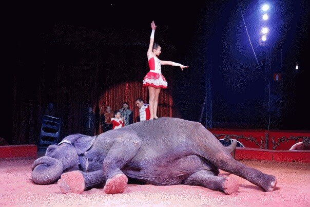 circus elephant laying down