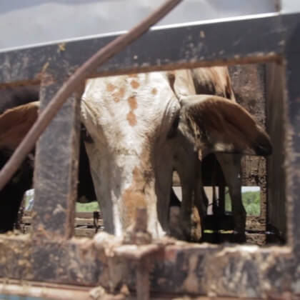 Cows headed to JBS S.A. slaughterhouses endure long rides on feces-laden truck beds.