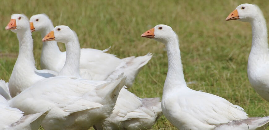 group of geese