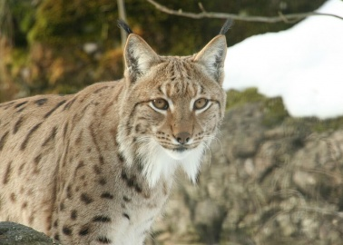 The 'Dartmoor Lynx' – Like All Animals – Just Wants to Be Free