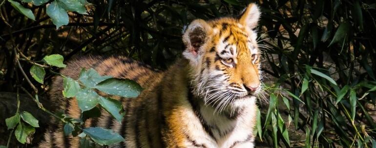 harimau cub