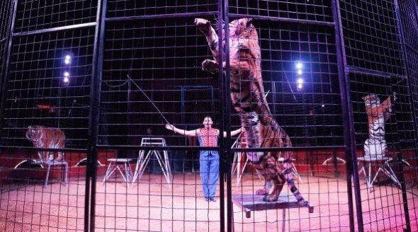 tiger-in-circus