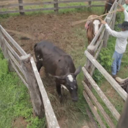 Workers hit and jab cows with metal-tipped sticks.