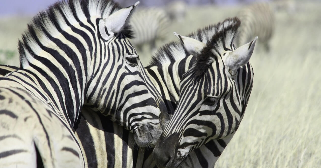 zebras-touching-noses