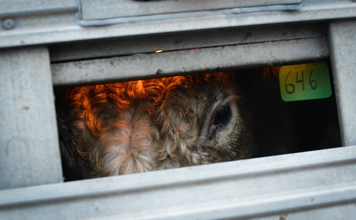 Cattle Transport - JMcArthur