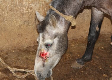 Urge India to Close Facilities That Drain Blood From Horses and Donkeys