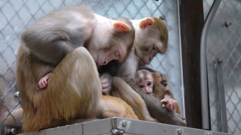 Mother and baby monkeys held by NIH for experimentation.