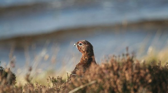 Red Grouse CC