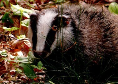 10,000 Badgers Could Be Killed in This Year's Culls