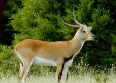 Antelope Escapes From Zoo, Only to Be Captured and Killed