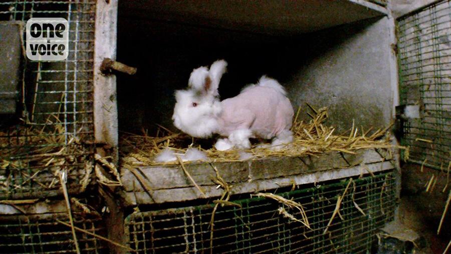 one-voice-angora-rabbit-after-plucking