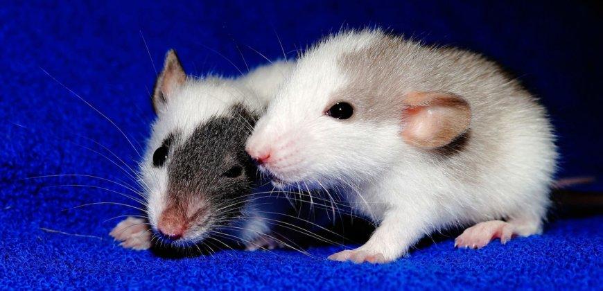 rats-cc0