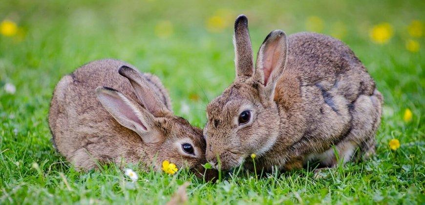 rabbits-cc0