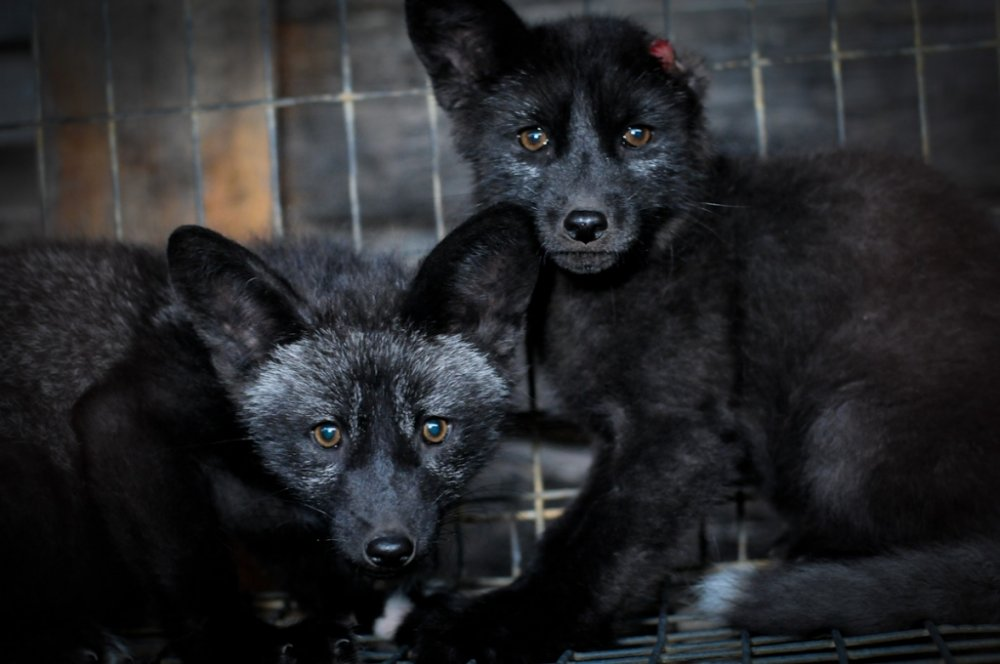 young-silver-foxes