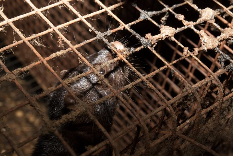 fur-farm-cage-and-mink