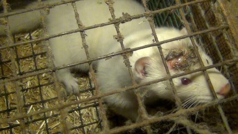white-mink-on-fur-farm