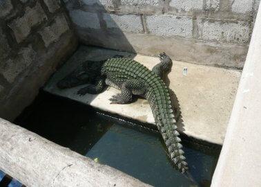 The Cruelty Behind Crocodile-Skin Handbags