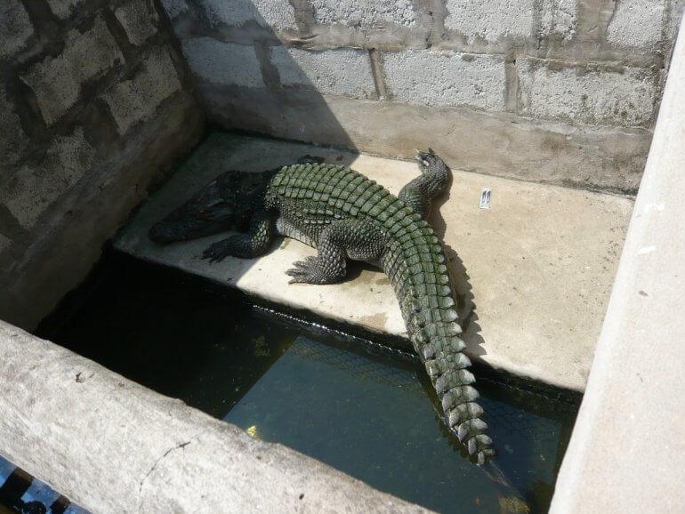 vietnam-crocodile-enclosure