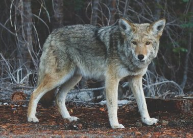 WATCH: How Terrified, Trapped Coyotes Can Be Killed for Fashion