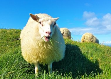 VICTORY! Australian First: Wool Workers Charged for Abusing Sheep