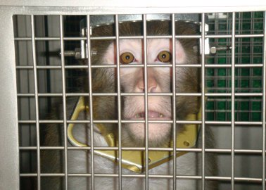 UK Government: Protect Monkeys Used in Neuroscience Experiments