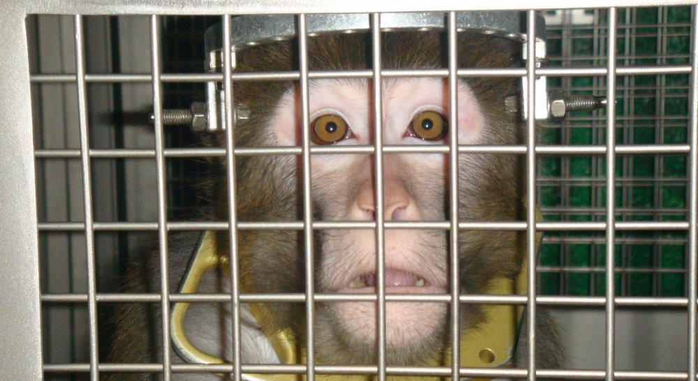 Image shows monkey in lab.