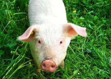 Pigs Rescued by Firefighters, Then Served to Them as Sausages