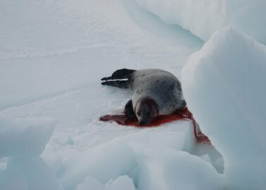 Switzerland to Become 35th Country to Ban Seal-Derived Products