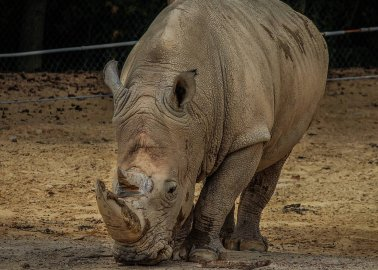 Rhino in French Zoo Shot Dead by Poachers for His Horn
