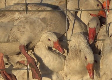 What Happens to Birds Whose Feathers Are Used in Canada Goose Down-Filled Jackets