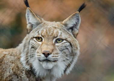 Welsh Zoo Responsible for Lynx Deaths Banned From Keeping Wild Cats